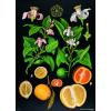Stiefel Eurocart Kft. Citrusfélék oktatótabló