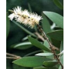 Farfalla - Cajeput kbA, 10 ml 10