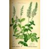 Herbatrend veronikafű gyógynövénytea, 30 g