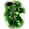 Herbatrend szúrós gyöngyajakfű gyógynövénytea, 40 g