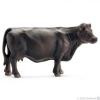 SC 13767 Black Angus tehén
