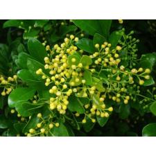 Rizsvirág illatolaj illóolaj