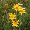 Árnika virág (Flores arnicae mex.) - 50 gr