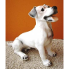 Kutya-Jack Russel Terrier-ülő/rövid farkú