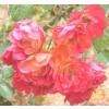 GYASS 123 VELVET ROSE Koncentrátum 5ml