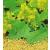 Herbária Zrt. Fehér mustármag 250 gr.-Herbária-